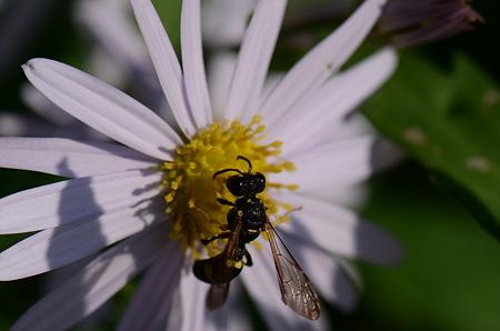 ジガバチ科 マルモンツチスガリ
