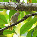 Photos: アオチメドリ(White-bellied Yuhina) P1090705_R
