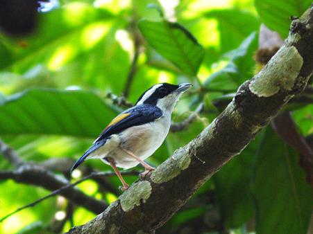 アカバネモズチメドリ(White-browed Shrike-Babbler) P1100815_R