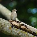 Photos: コサメビタキ?(Brown Flycatcher) DSC_3591_R