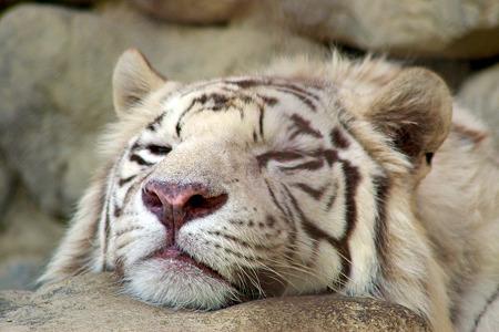 眠るWhite Tiger