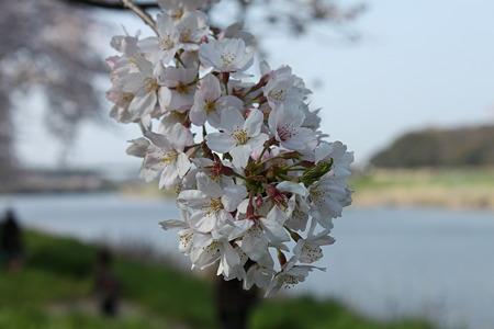 2010.04.06 桜(4/5)