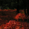 写真: 紅(クレナイ)