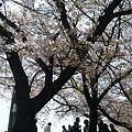 写真: 鶴舞公園グラウンドの桜