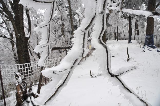 雨氷に樹氷?