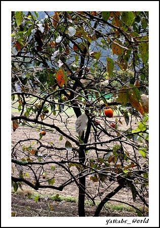 里の柿の木 ~畑を見下ろしながら~