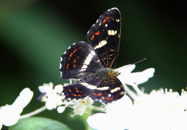 サカハチチョウ(逆八蝶) 夏型
