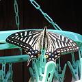 Photos: 洗濯物にあげは蝶が、いま!