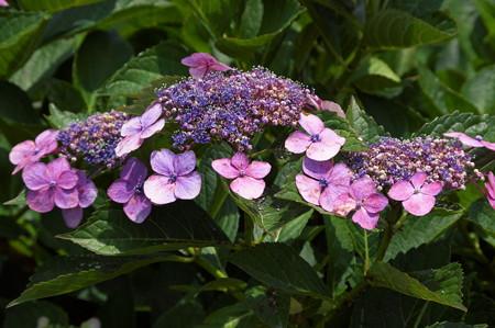 散歩道の紫陽花