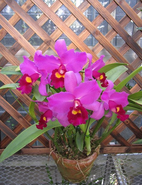 Pot Congareee Orchidlibrary