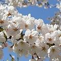 Photos: 多摩川沿いの桜17