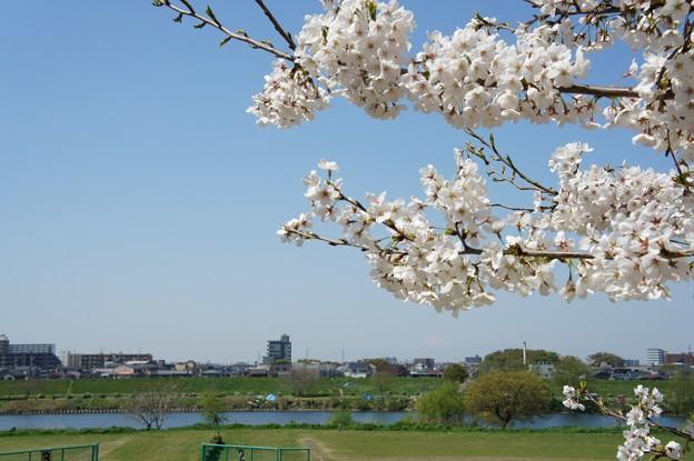 Photos: 多摩川沿いの桜16
