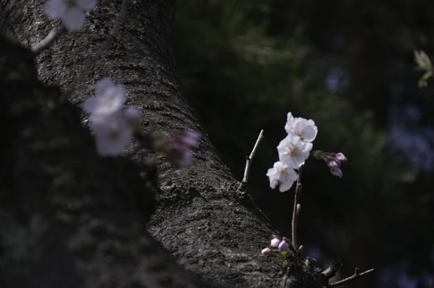 Photos: 鴨川、桜まみれ03