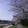Photos: 鴨川、桜まみれ10
