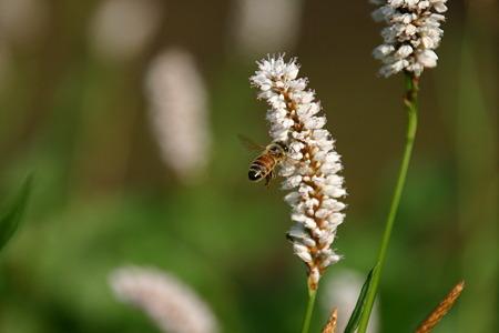 イブキトラノオとハチ