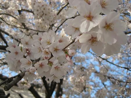 2010zuisin_sakura3