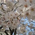 写真: 2010zuisin_sakura3