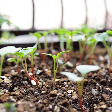 ラディッシュの芽が成長中