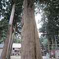 Photos: イチイの木