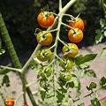 Photos: 鈴なりのプチトマト