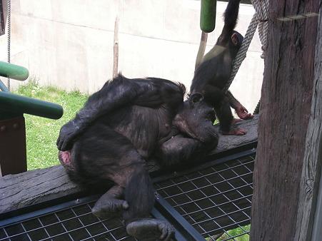 チンパンジーもぐったり