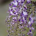 写真: 紫簾