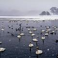 大寒の白鳥越冬地