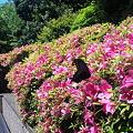写真: 城山ガーデンのアゲハチョウ?
