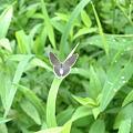 写真: 小さなチョウチョ