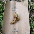Photos: シャクトリムシの被害