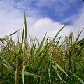 Photos: 夏の稲穂