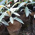 Photos: ポット植え付け後のびわの苗木