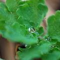Celandine Leaves 4-24-11