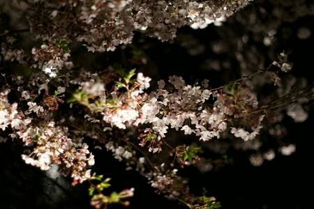 夜闇に光る桜