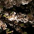 写真: 夜闇に光る桜