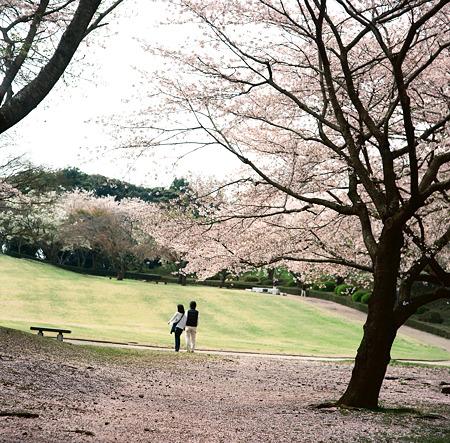 桜の絨毯を歩く