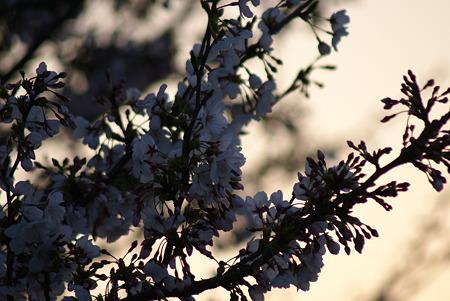 朝陽をあびる桜・その7