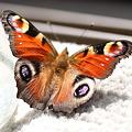 早生まれの北の蝶ーーー