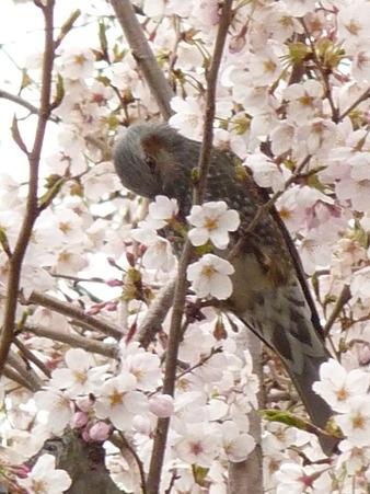 100404-海軍道路の桜 (20)