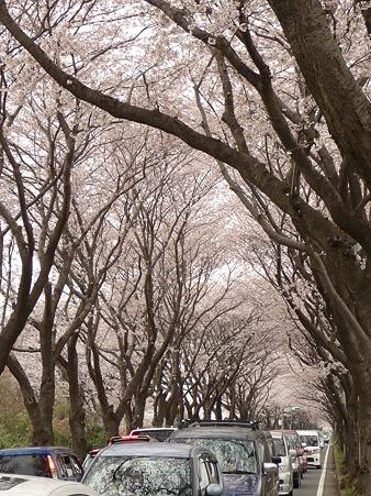 100404-海軍道路の桜 (40)