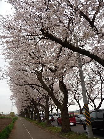 100404-海軍道路の桜 (51)
