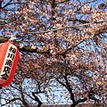 桜前線到着ー2