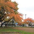 桜の紅葉ー1