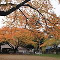 桜の紅葉ー2
