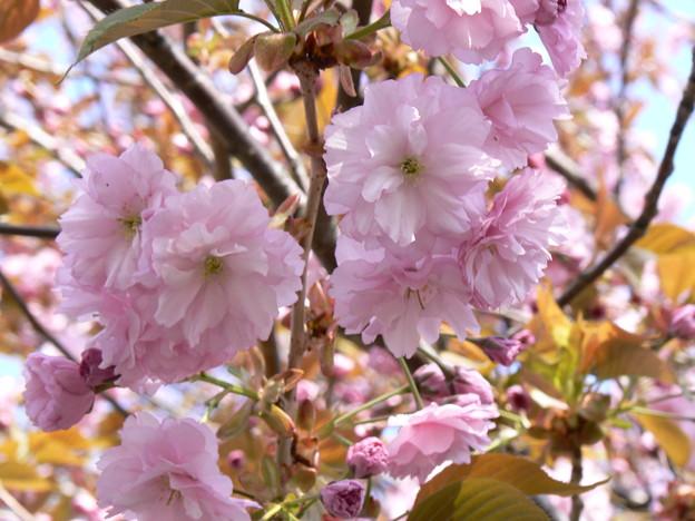 桜P1010453