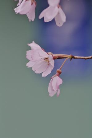 桜三態 −枝垂桜−