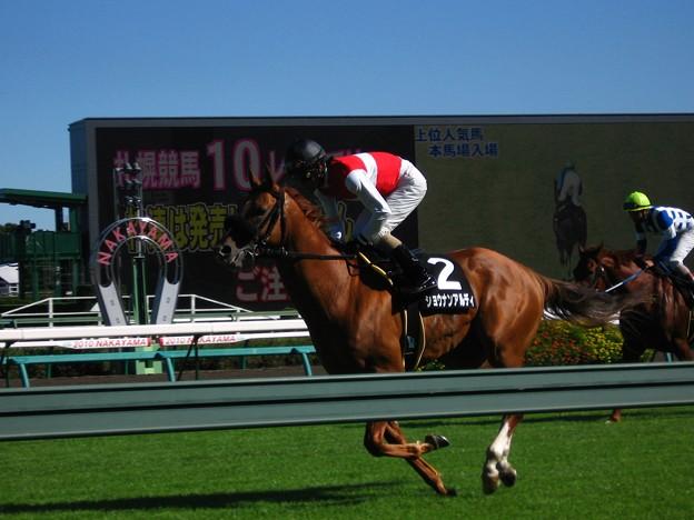 写真: 9R汐留特別_ショウナンアルディ(返し馬)