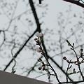 写真: 桜が咲いてきた