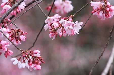 2010.03.29 和泉川 枝垂桜