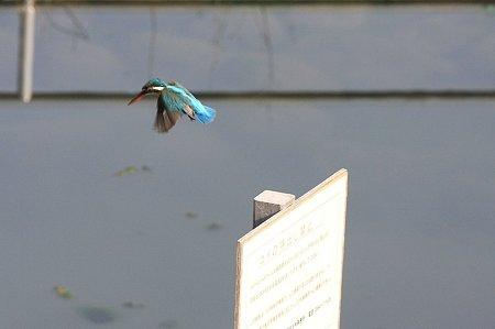 2010.03.31 和泉川 カワセミ 飛翔